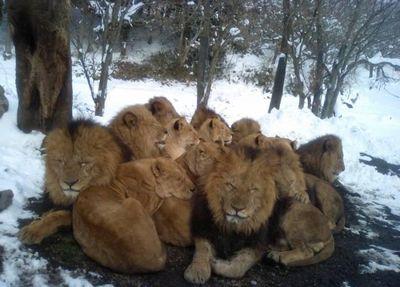 ライオン饅頭