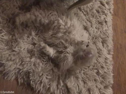 猫の飼い主「うちのラグは一部が動く…」00