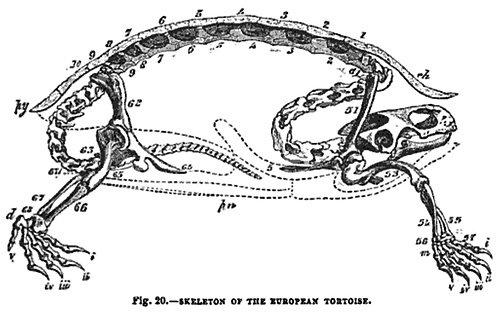 亀の骨格03