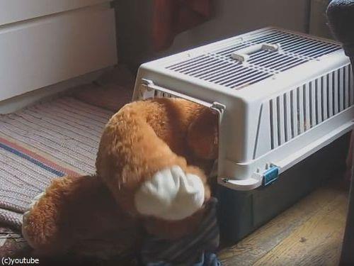 クマのぬいぐるみと一緒じゃないと昼寝をしない犬09