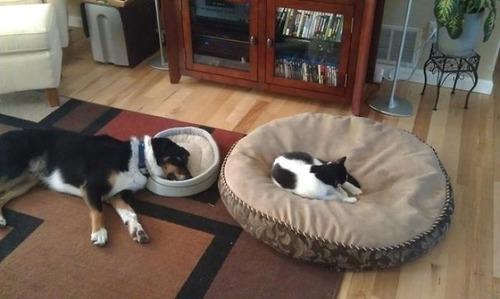 猫にベッドを奪われた犬たち06