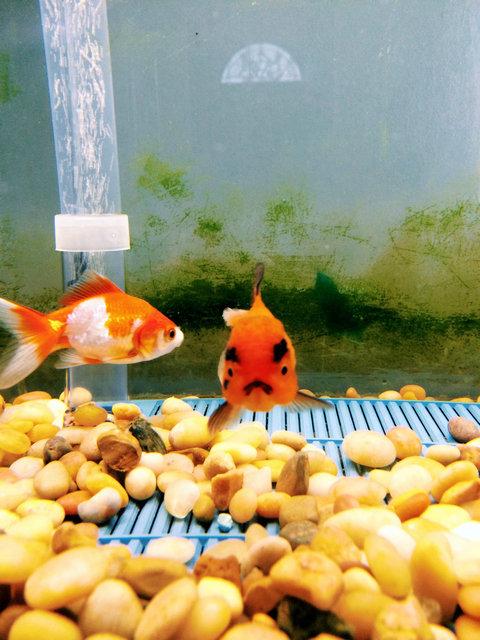 アングリー金魚07