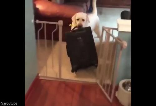 飼い主が出かけるのを嫌がる犬02