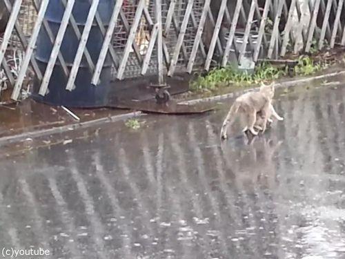 雨の日に子猫をくわえて走る母猫06
