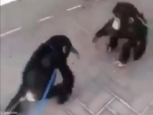 チンパンジー兄弟の再会01