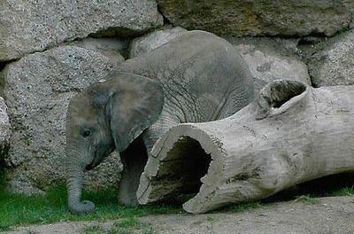 ゾウが転倒したときの表情03