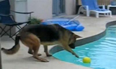 溺れるシェパード犬