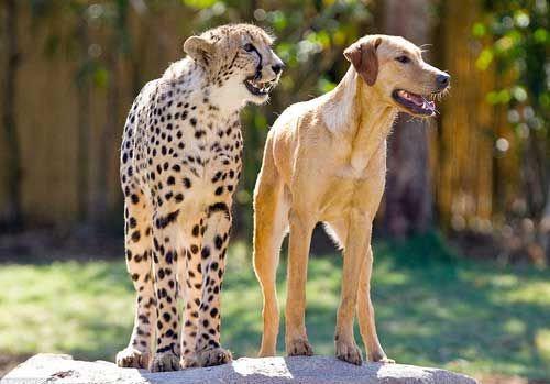 チーターと犬の友情08