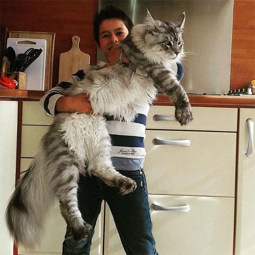 大きな猫メインクーン01
