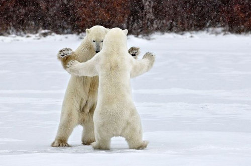 楽しい白クマ09