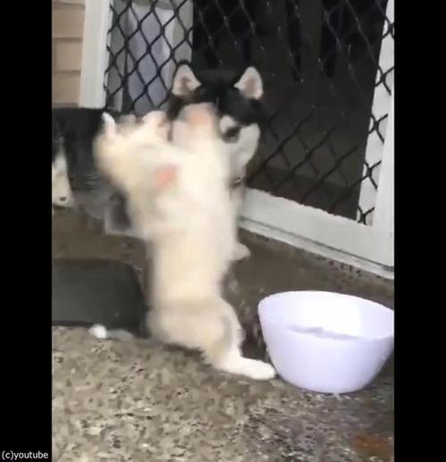 ドジなハスキーの子犬04