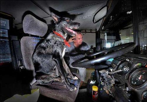 オーストラリアの二階建てバスを犬が運転した01