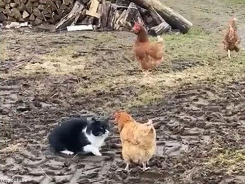 チームワークで猫を退けるニワトリ00