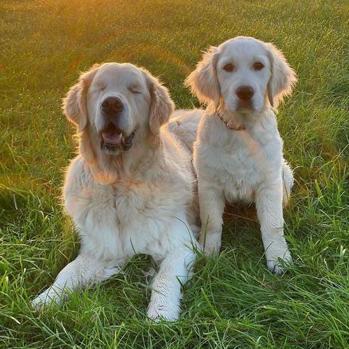 子犬が盲目の犬のためにガイド役になる05