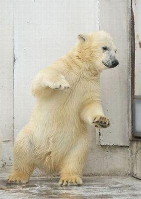 白クマのダンス03