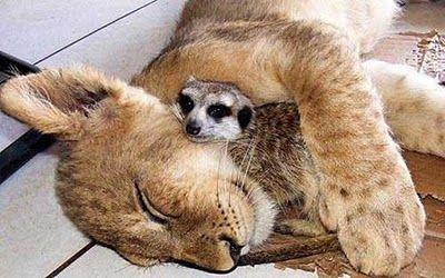 ライオンと寝るミーアキャット