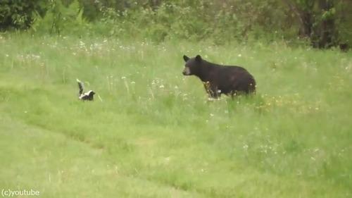 絶体絶命のスカンクがクマを撃退する瞬間02