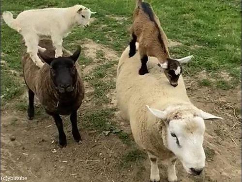 赤ちゃんヤギにとって羊は乗り物