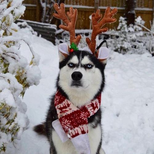 目つきの鋭いハスキー犬にトナカイ衣装02