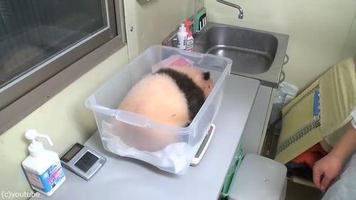 赤ちゃんパンダの身体検査01