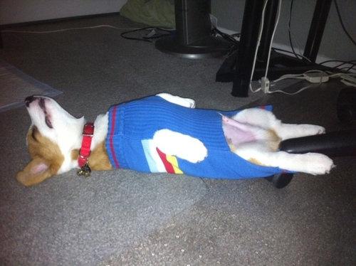 寝てるコーギー犬21
