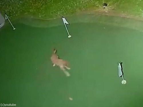 コヨーテが裏庭でゴルフ03