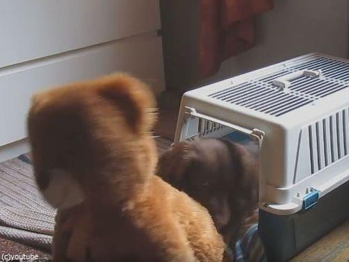 クマのぬいぐるみと一緒じゃないと昼寝をしない犬02