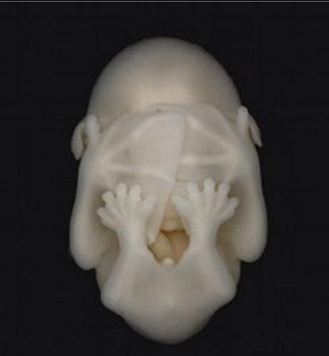 コウモリの胎児01