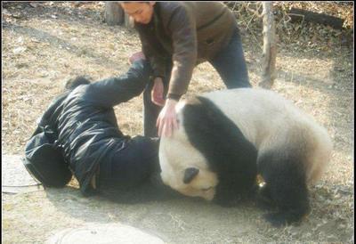機嫌が悪かったのか人に襲い掛かるパンダ05
