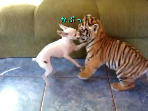 虎の赤ちゃんとチワワ
