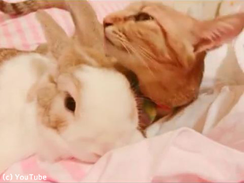 めっちゃウサギの毛づくろいする猫03