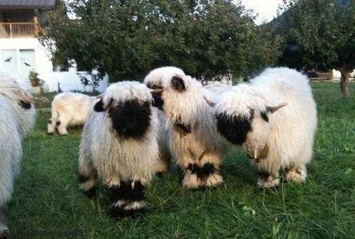 世界一かわいい羊03