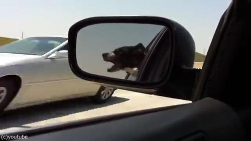 通り過ぎる車に噛みつこうとする犬09