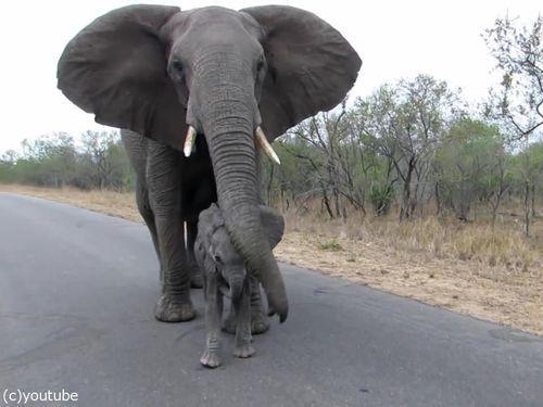 赤ちゃんゾウを守る母親ゾウ07