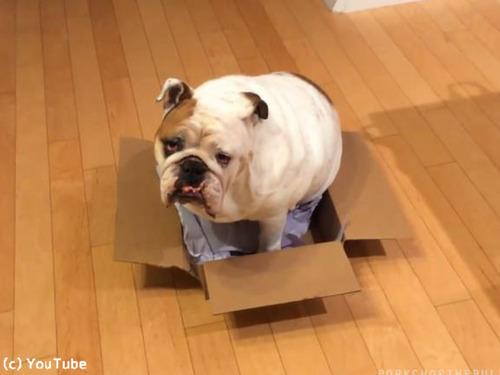 ブルドッグ「どうしてもこの箱が好きなんです」00