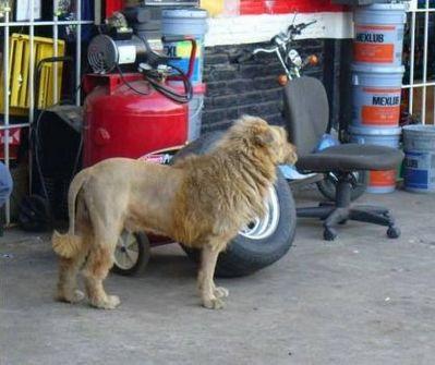 ライオン犬01