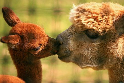 動物たちのキス03