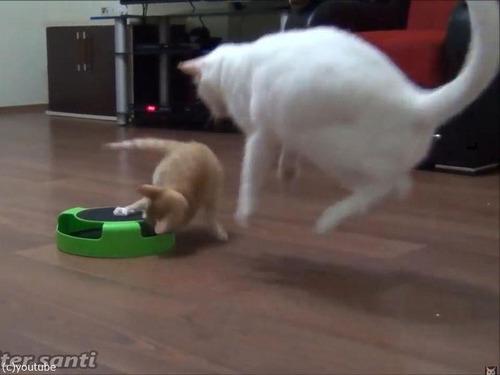 子猫、おとな猫を驚かすのが大好き01