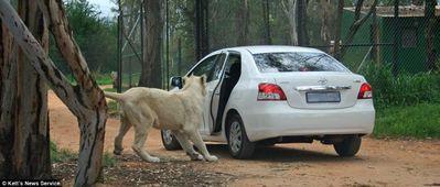 ライオンが車の扉を開けた03
