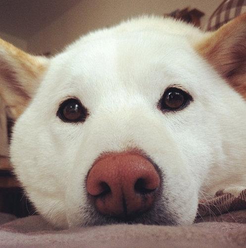 柴犬を飼う理由19