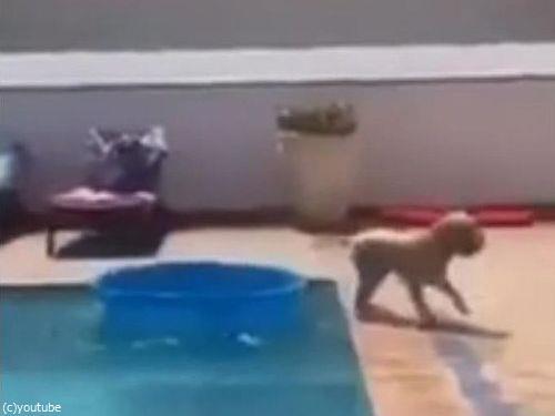 プールからボールを拾い上げる犬07