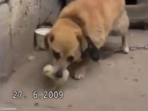 ヒヨコを保護する犬02