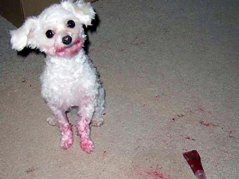 うっかり口紅を手に入れてしまった犬たち…真っ赤に染まった例いろいろ