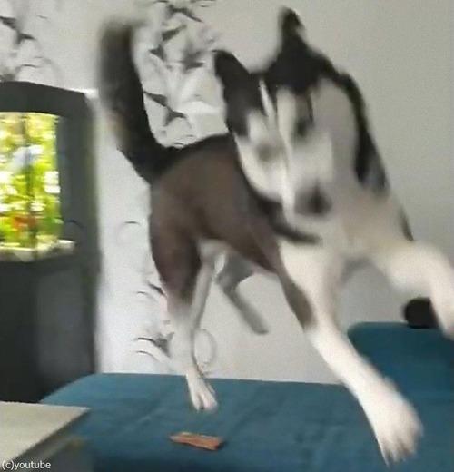来客を教えてくれるハスキー犬04