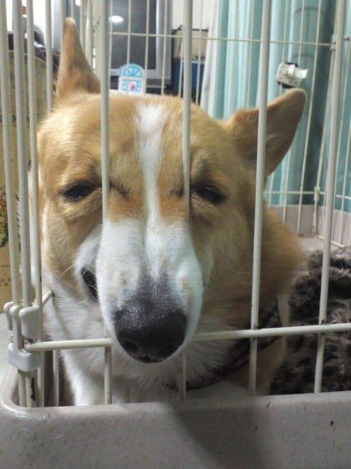 獣医に行くと悟った犬08