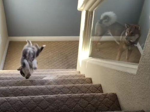 ハスキーの子犬と階段06