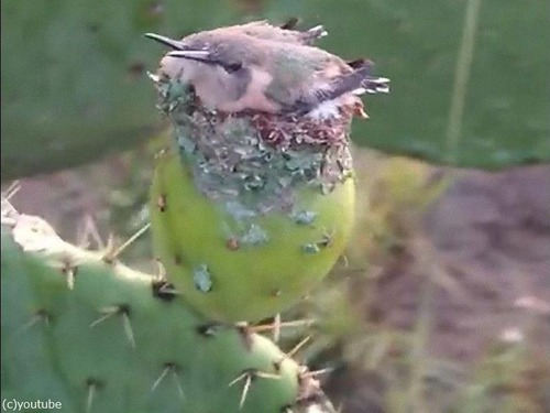 サボテンにハチドリの巣00