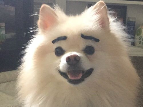 ハロウィン用の口ひげで、犬の眉毛を作ってみた02