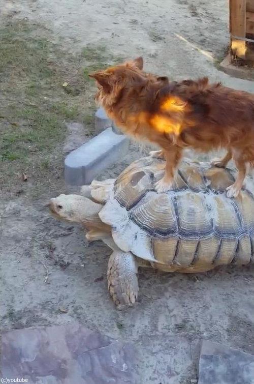 亀に乗る犬03