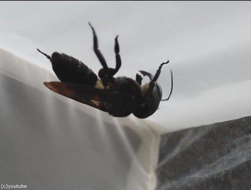 絶滅したと思われた世界最大のハチが38年ぶりに見つかる00